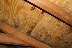 Mold growing on roof sheathing in Murrysville attic